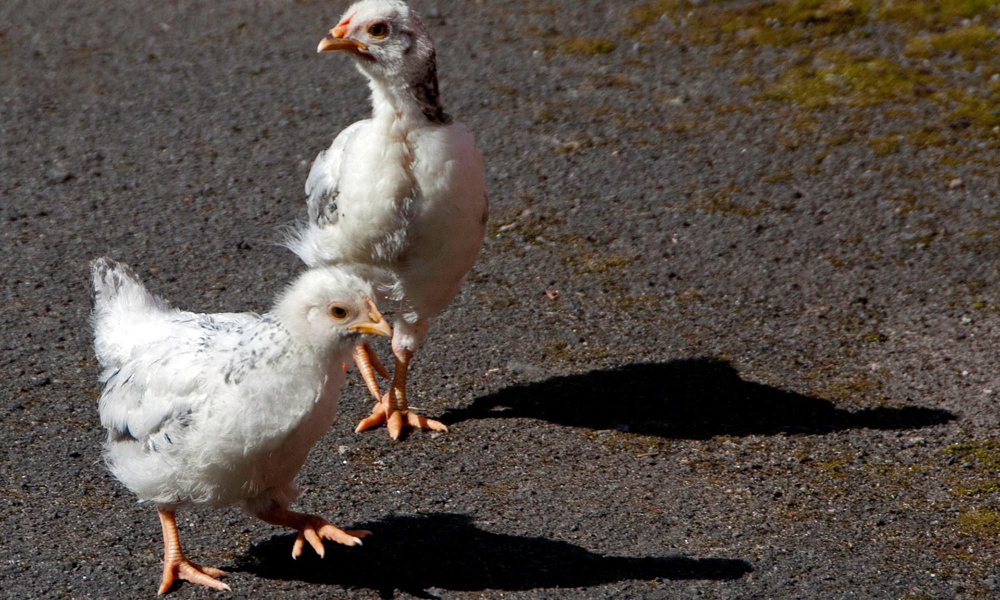 Bantam Chicks