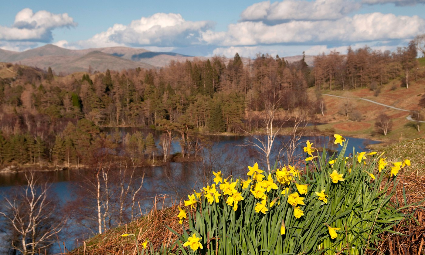 Daffodils at Tarn Hows