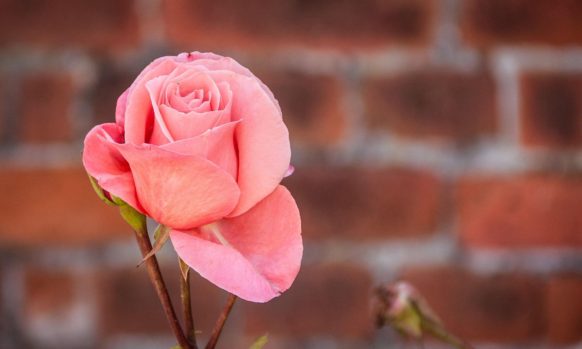 Pink Rose on Brick Background