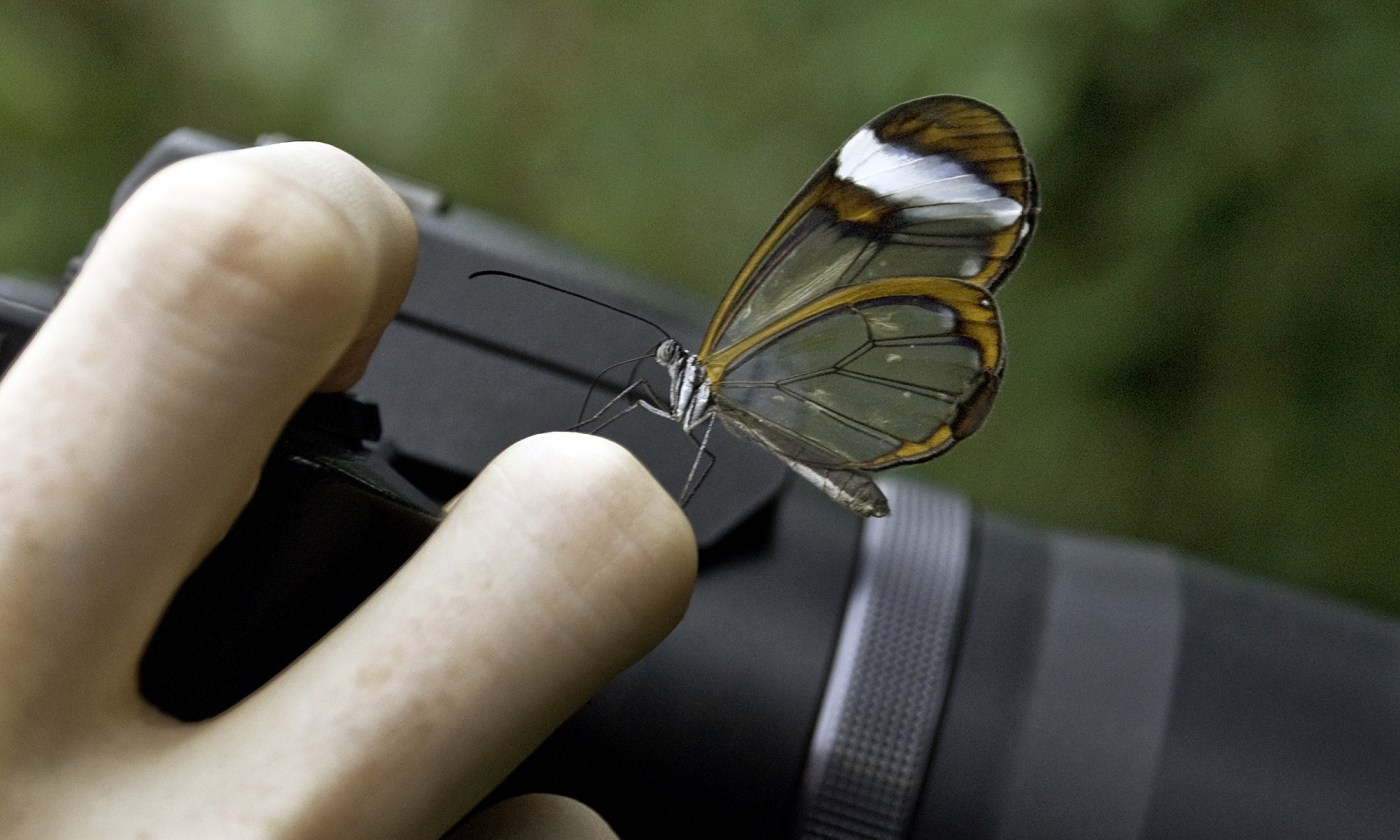 Glasswing Butterfly on Camera