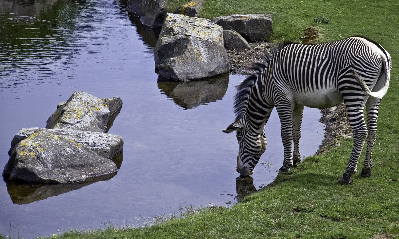 Grevy's Zebra at Edinburgh Zoo