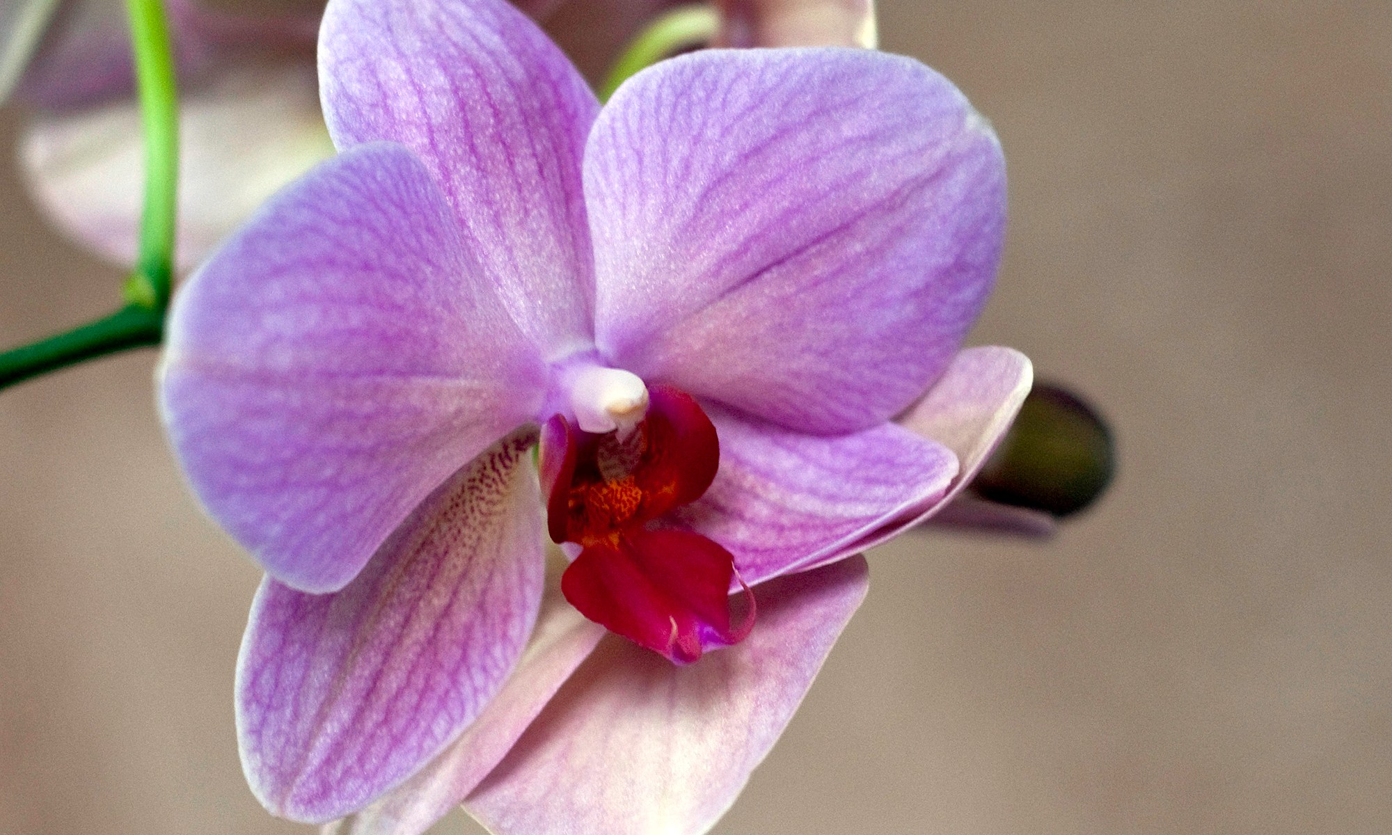 Pink Orchids Phalaenopsis