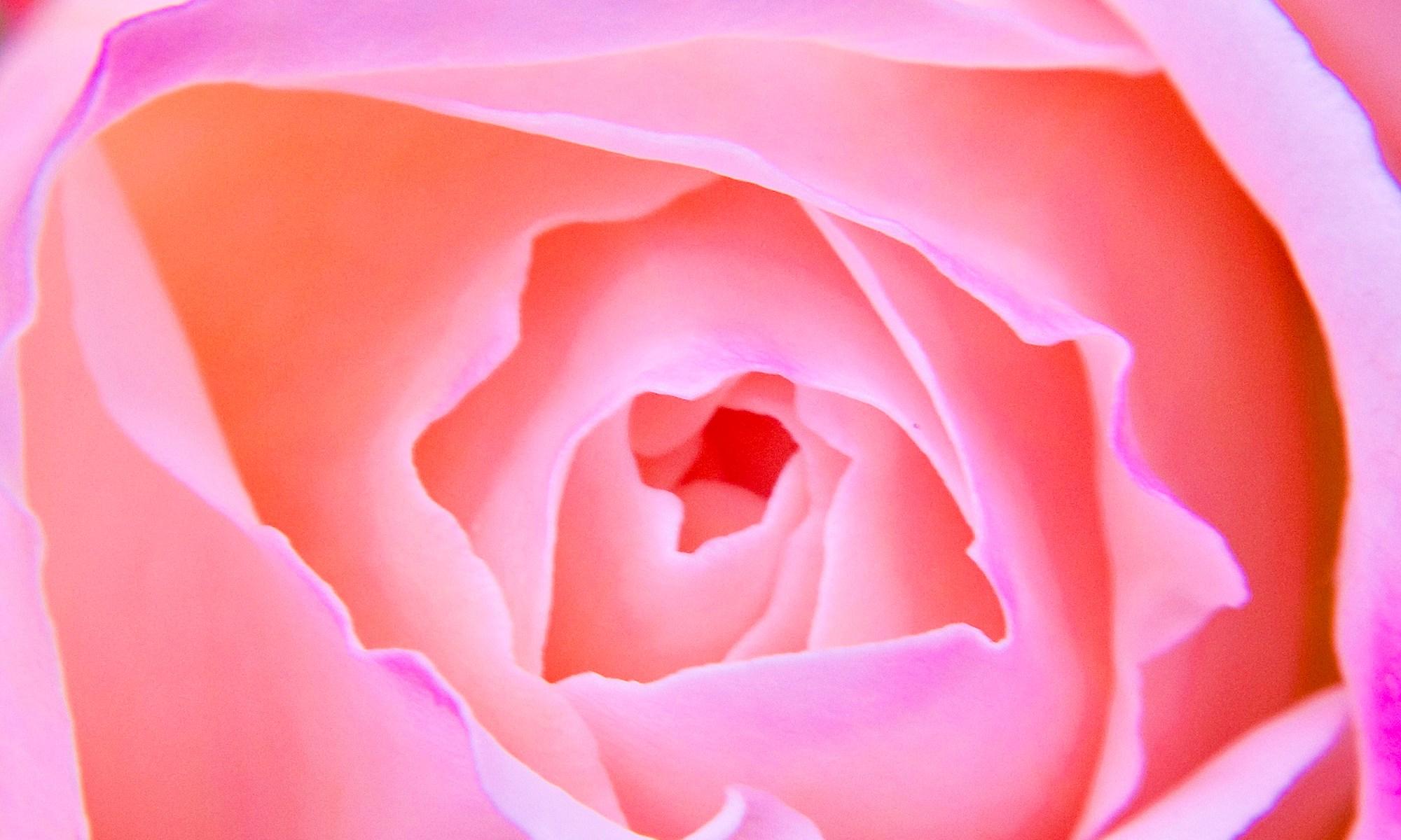 Pink Rose Flower Detail