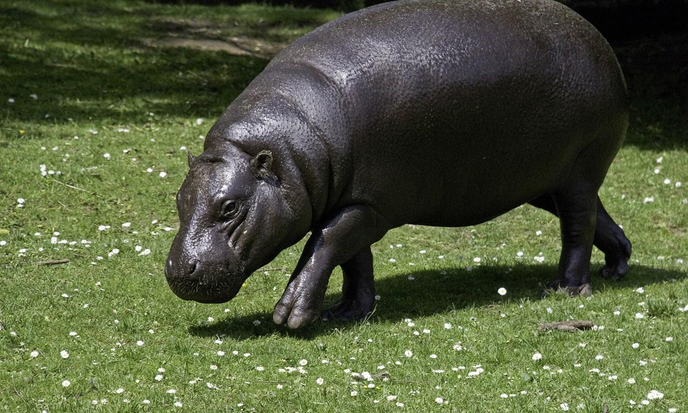 Pygmy Hippo at Edinburgh Zoo