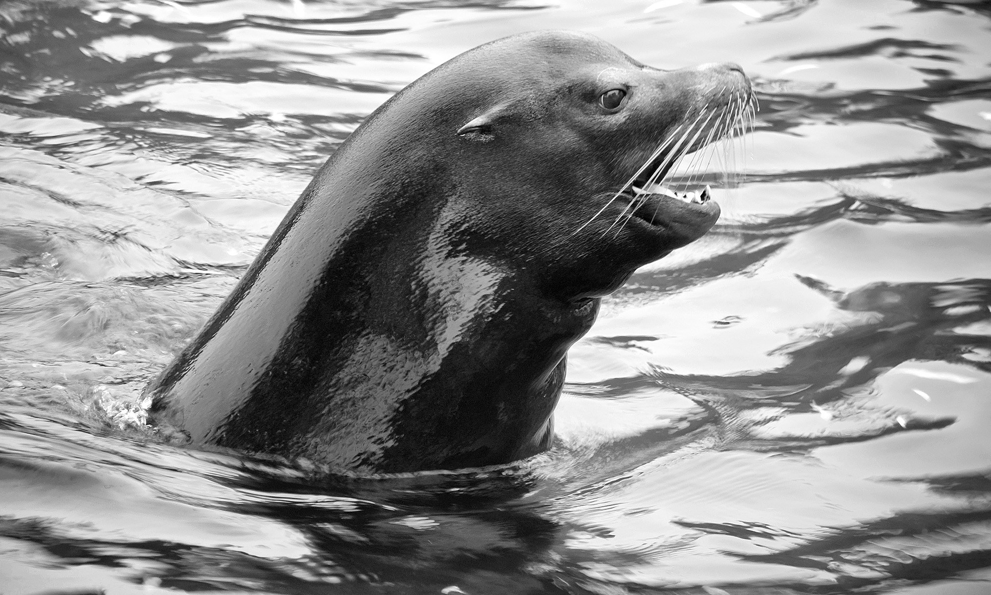 Sea Lion Portrait, Chester Zoo
