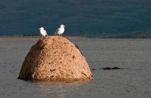 Two Seagulls on a Rock at Dusk