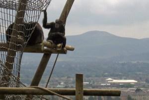 Chimps relaxing at Edinburgh Zoo
