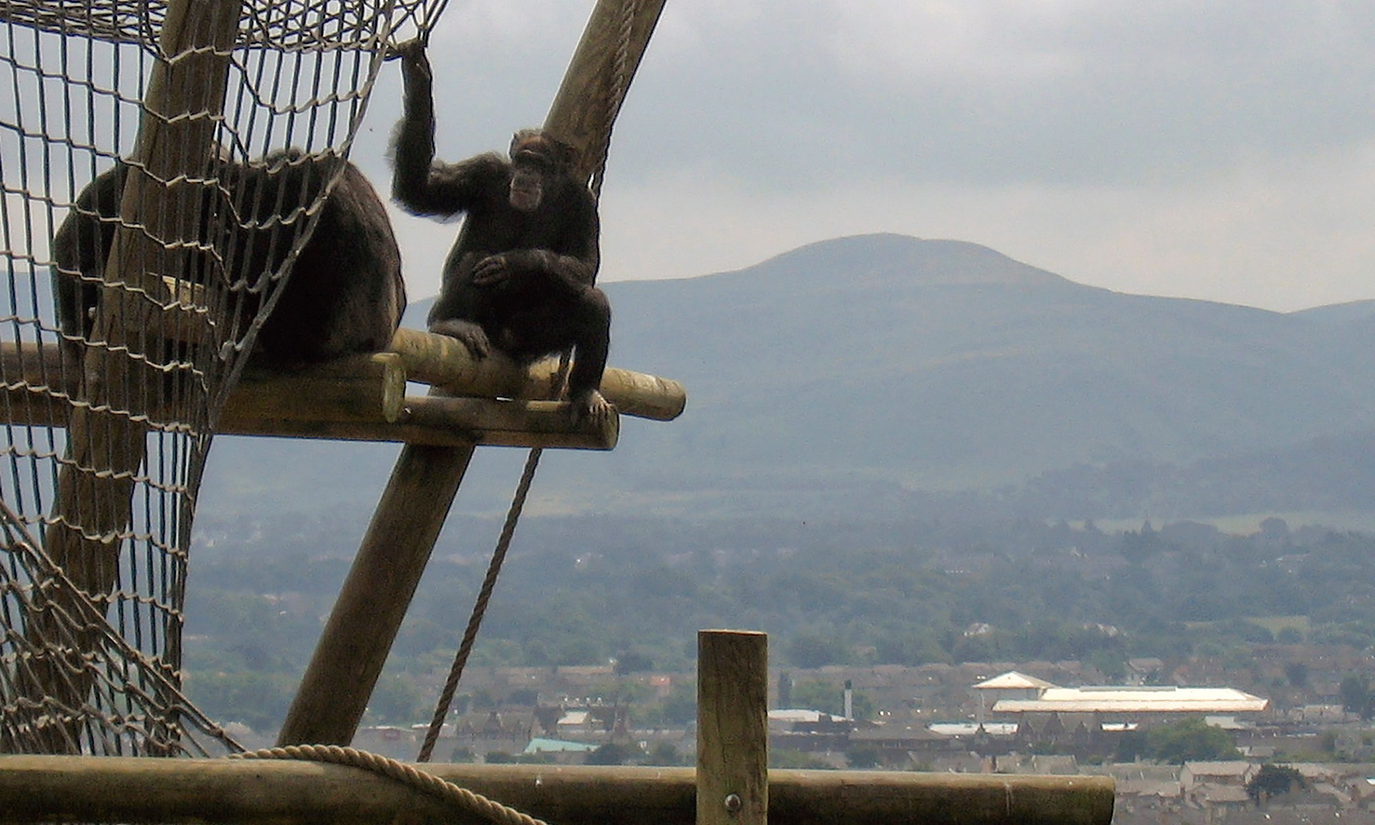 Chimps relaxing at Edinburgh Zoo