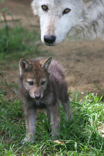 Cubs And Mother 2 Wolves