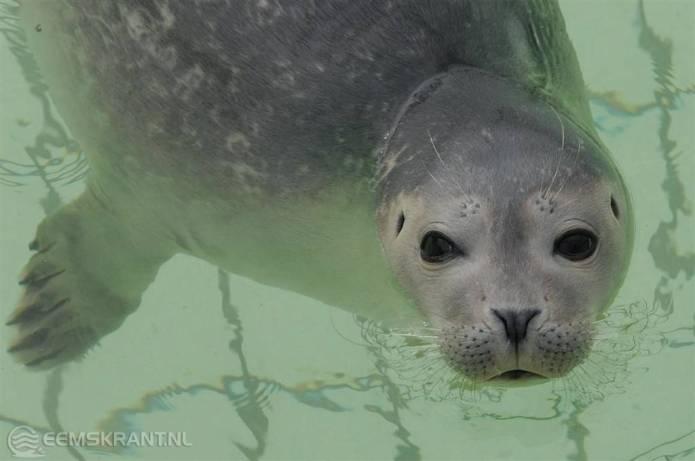 Groen licht voor zeehondenopvang in Termunten