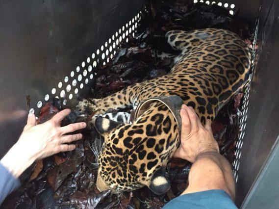 JaguarEcuador2