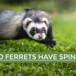 Do Ferrets Have Spines