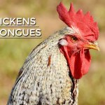 Do Chickens Have Tongues