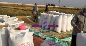 بدء موسم حصاد الأرز ببورسعيد | بدء موسم حصاد الأرز ببورسعيد