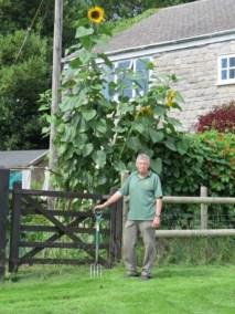 A tall sunflower