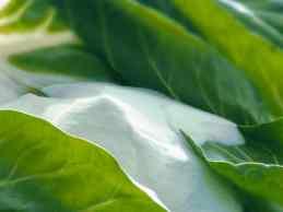 Inulin_oligofructose_leaf