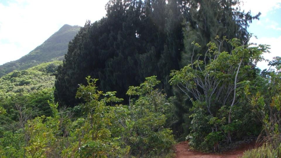 穿過密林後,然後是小松樹林。