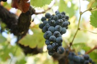 收割季節過後剩餘的葡萄。