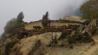 在登上 Phortse 前,又遇見羊群。