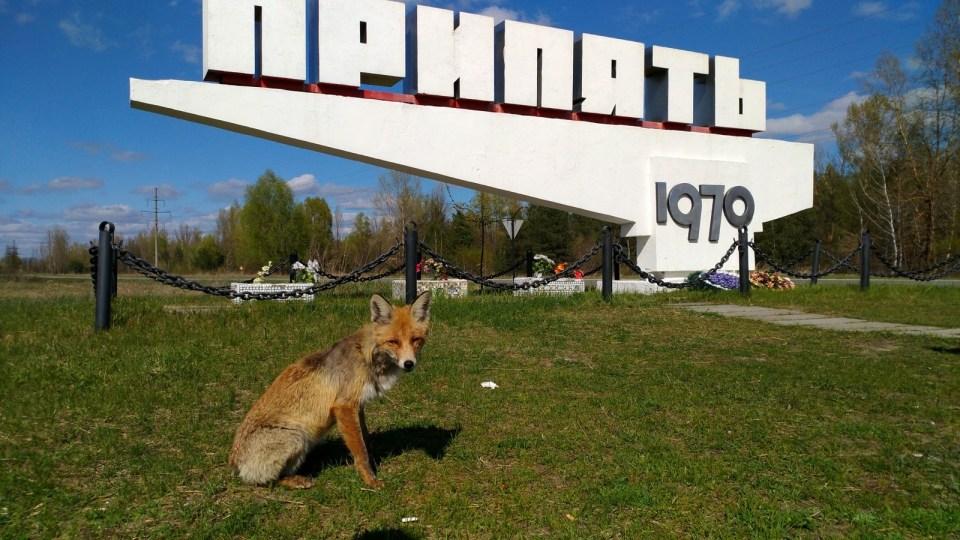 狐狸是我在疏散區裏見得最多的動物(比人類(遊客)更多),也不怕人類。