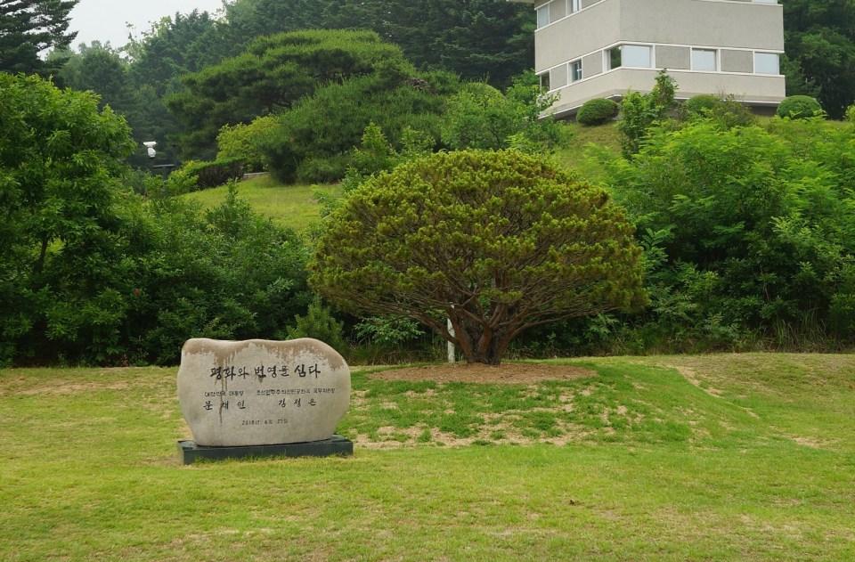 兩人種植的松樹。