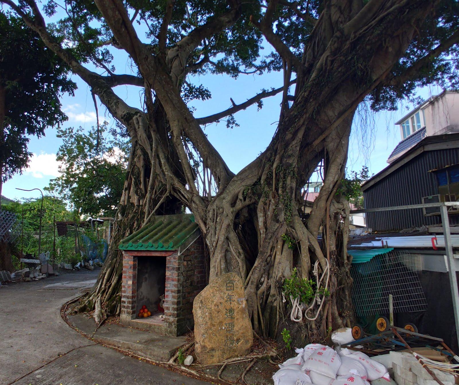 百年連理樹。