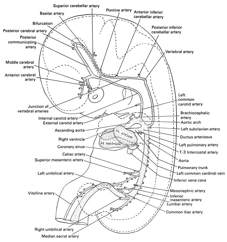 Atlas of Human Embryos Figure 7-5a
