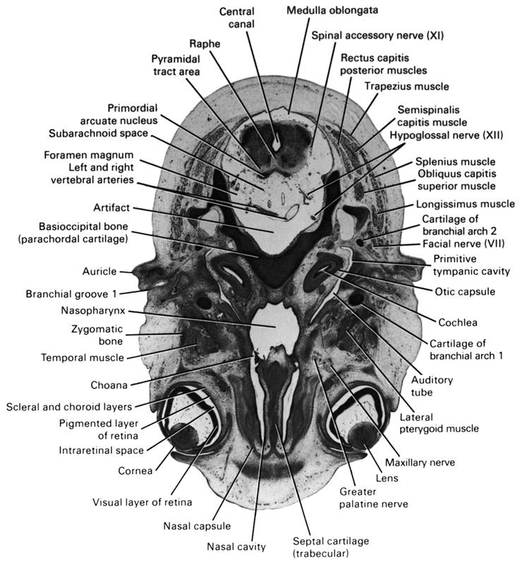 Atlas of Human Embryos Figure 8-7-10
