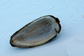 Is eating sunflower seeds good or bad for you eHealthStar
