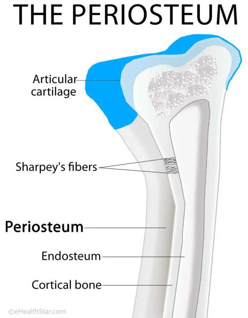 small resolution of sharpey s fibers