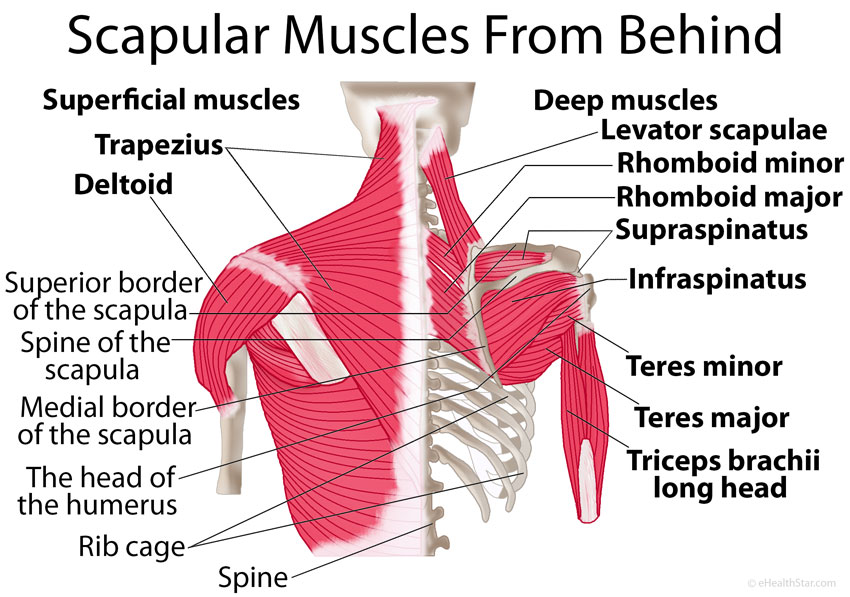 Image result for scapular fracture