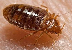 Bed Bugs in Your Home - Ways to identify them.