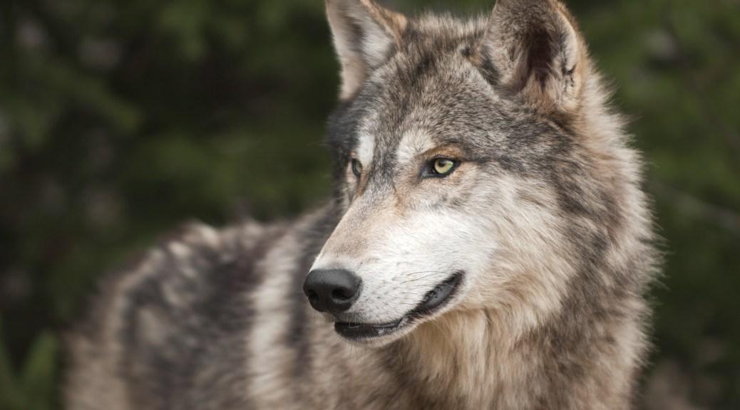 Why werewolves? header