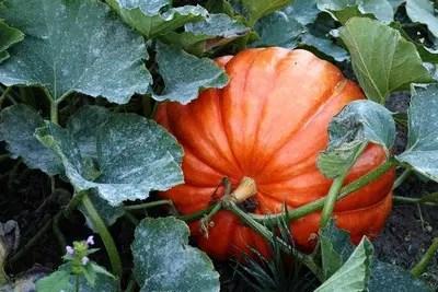 Krbis pflanzen  Wachstum anlegen sen  ernten