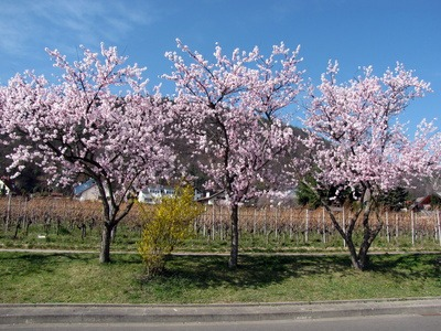 Mandelbaum pflanzen  Wachstum anlegen sen  ernten