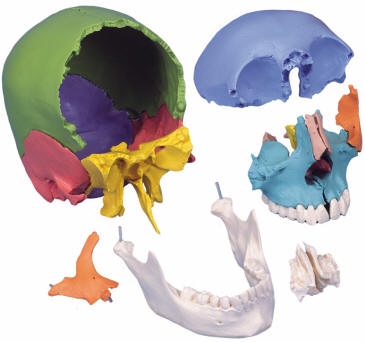 Skull Diagrams These Bones Of Mine