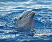 Delfin Spirit, schwimm mit in der wunderbaren verjüngenden Energie der Delfine