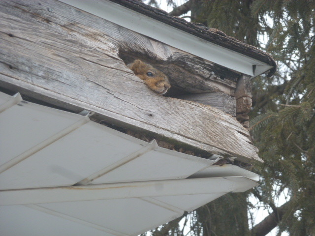Squirrel peaking out of rotten fascia