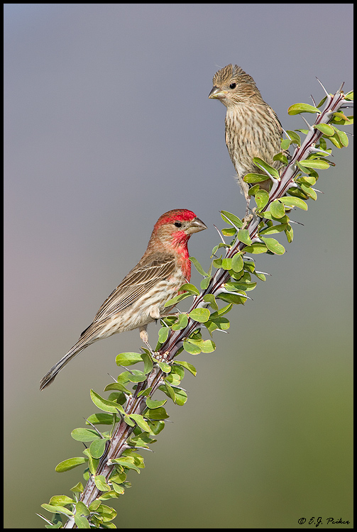 House Finch Page