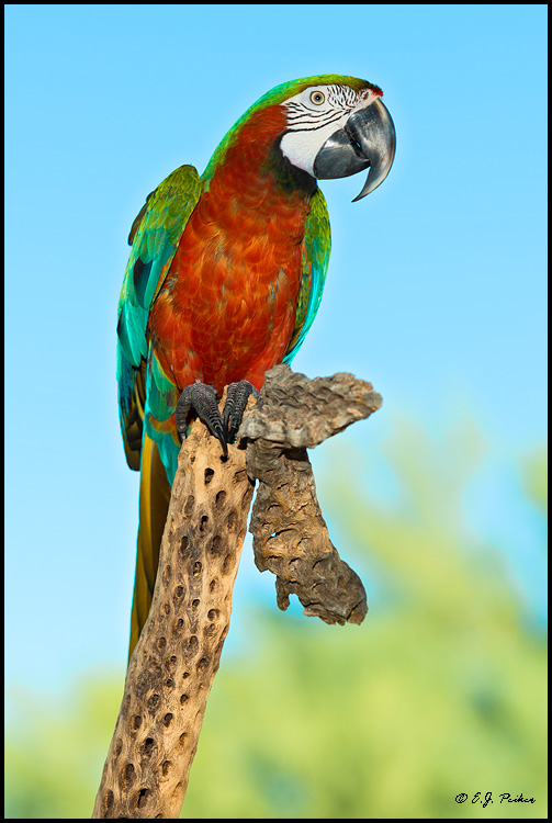 Hybrid Macaw Page