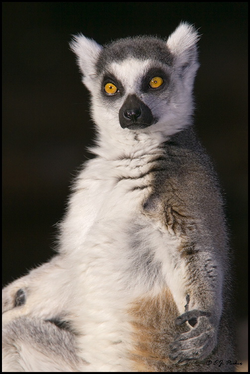 Actual Ring-Tailed Lemur
