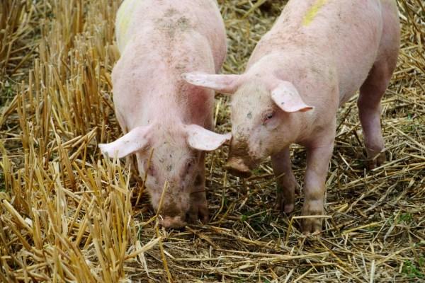 Cina, l'anno del maiale (indigesto)