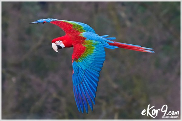 Macaw Sayap Hijau, harga burung makau, macaw dijual, jenis burung macaw, ara ararauna, makaw skarlet, asal burung macaw, burung macaw scarlet, hyacinth macaw, green winged macaw, flying scarlet macaw price, macaw blue and gold, ekor9