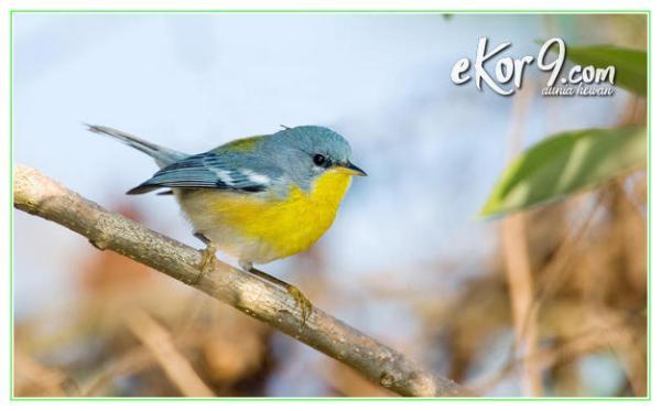 burung paling kecil di indonesia, burung paling kecil didunia, burung paling kecil didunia dan bisa terbang mundur, burung kecil paling mahal, burung kecil paling merdu