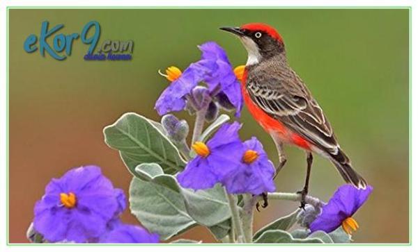 burung kecil di dunia, burung kecil dunia, burung kecil termahal di dunia, burung paling besar di dunia, burung paling besar dunia, burung paling kecil di dunia