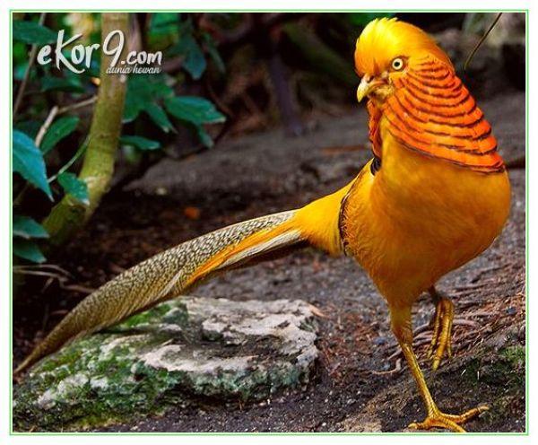 jual telur golden pheasant, harga anakan ringneck pheasant, yellow pheasant berbeda atau tidak sama dengan burung gold pheasant
