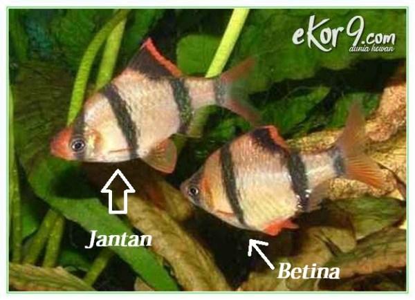 ikan sumatra jantan dan betina, cara membedakan ikan hias sumatra jantan dan betina, cara membedakan ikan sumatra jantan dan betina, cara membedakan jantan dan betina pada ikan sumatra, gambar ikan sumatra jantan dan betina, membedakan ikan sumatra jantan dan betina, perbedaan ikan hias sumatra jantan dan betina, perbedaan ikan sumatra jantan dan betina