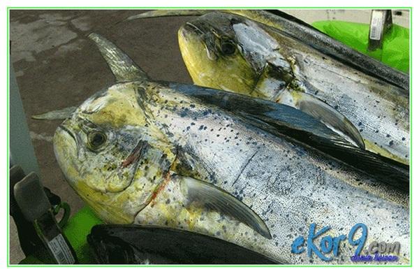 jenis ikan yg tidak boleh dimakan ibu hamil, jenis ikan yang boleh dikonsumsi ibu hamil, ikan yang boleh dimakan saat hamil, ikan yg tidak boleh dikonsumsi ibu hamil, ikan yg tidak boleh dimakan saat hamil