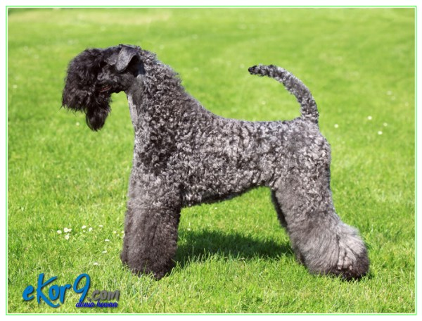 kerry blue terrier information and pictures, kerry blue terrier information, kerry blue terrier intelligence, kerry blue terrier temperament
