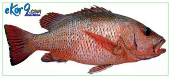 jenis ikan kakap merah, jenis sisik ikan kakap merah, jenis ikan kakap muara